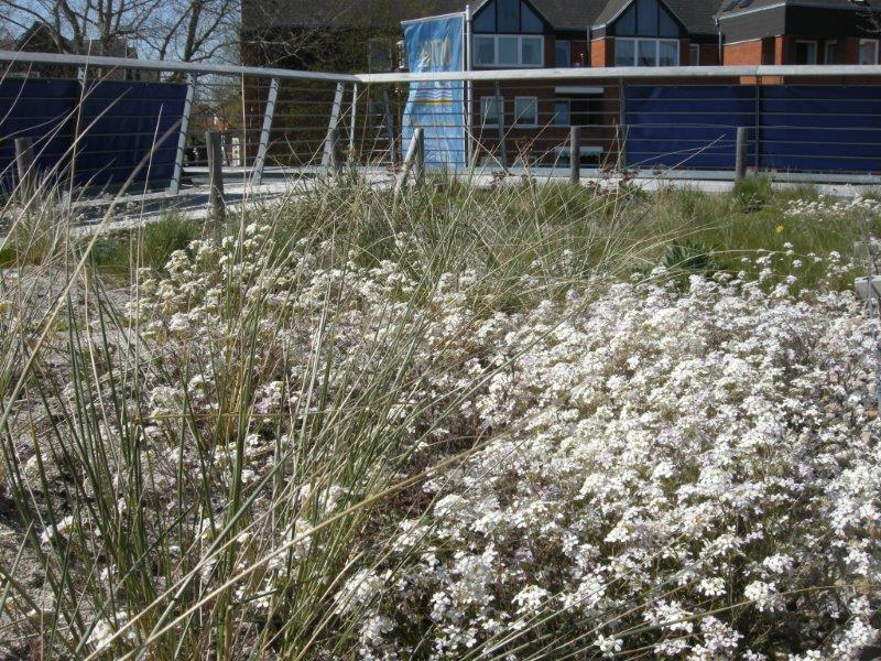 Ab April blüht auf dem Dach die Sand-Schaumkresse (Arabidopsis arenosa)