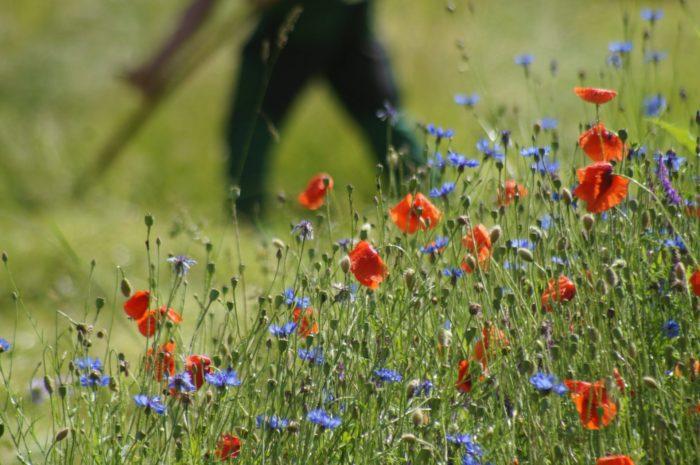 Mohn und Kornblume der Initialpflanzung