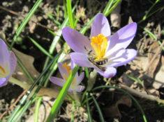 Uns schmeckts: Wildbiene am Krokus (Teil 3 von 4)