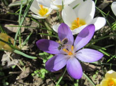 Uns schmeckts: Wildbiene am Krokus (Teil 4 von 4)