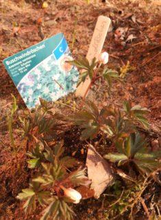 Die Buschwindröschen zeigen ihre ersten Blüten.