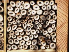 Eine Gehörnte Mauerbiene auf Fenchel-Wohnröhrchen