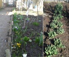 krokusse und tulpen