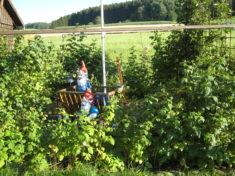 Gleich neben dem Bienenhaus haben wir unsere Beeren. Himbeeren abgeteilt unter Sommer- und Herbs ...