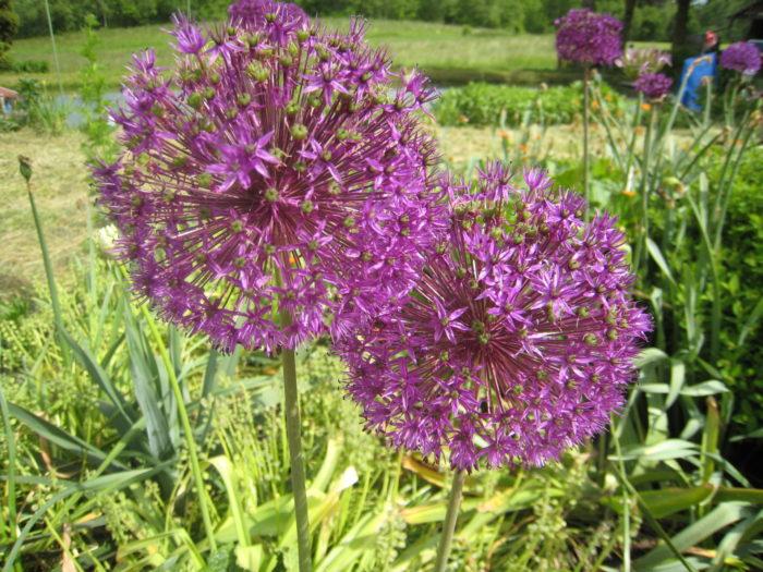 """Diese Blumen lieben die Bienen, von denen haben wir viele in unserem """"Paradies"""""""