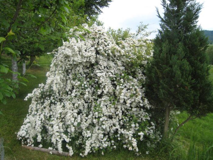 Wenn man unter diesem großen Busch steht, hört man die vielen Bienen summen…