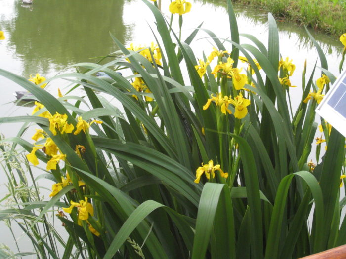 unsere große gelbe Lilie an unserem großen Weiher