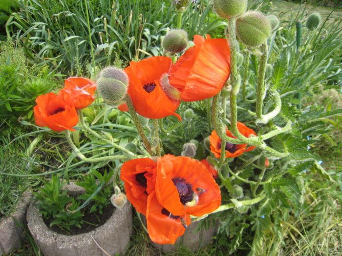 In unserem großen Garten befindet sich auch Rondell, das wir mit verschiedenen Blumen ringsherum ...