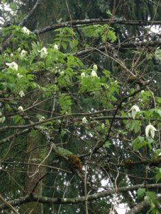 TIPP April: Naturnahe Sorte der Alpen-Clematis