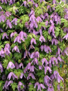 TIPP April: Alpenclematis (naturnahe Sorte)