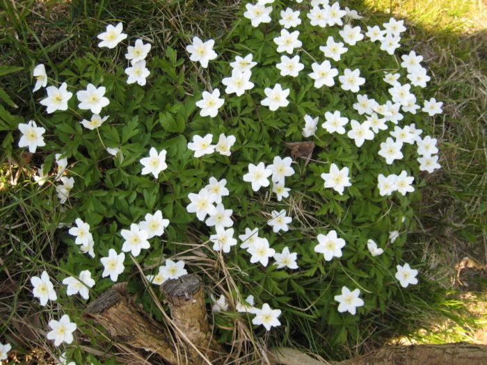 Unter unserem Flieder-Baum wachsen jedes Jahr Frühlingsblumen