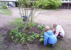 Pflanzung um den Klüver-Ahorn
