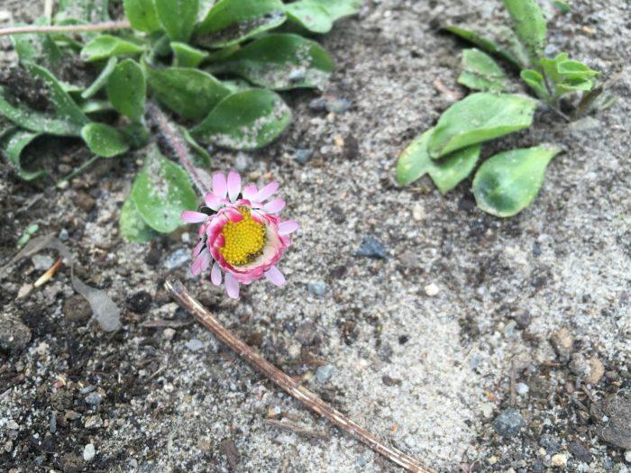Die Gänseblümchen blühen so langsam!