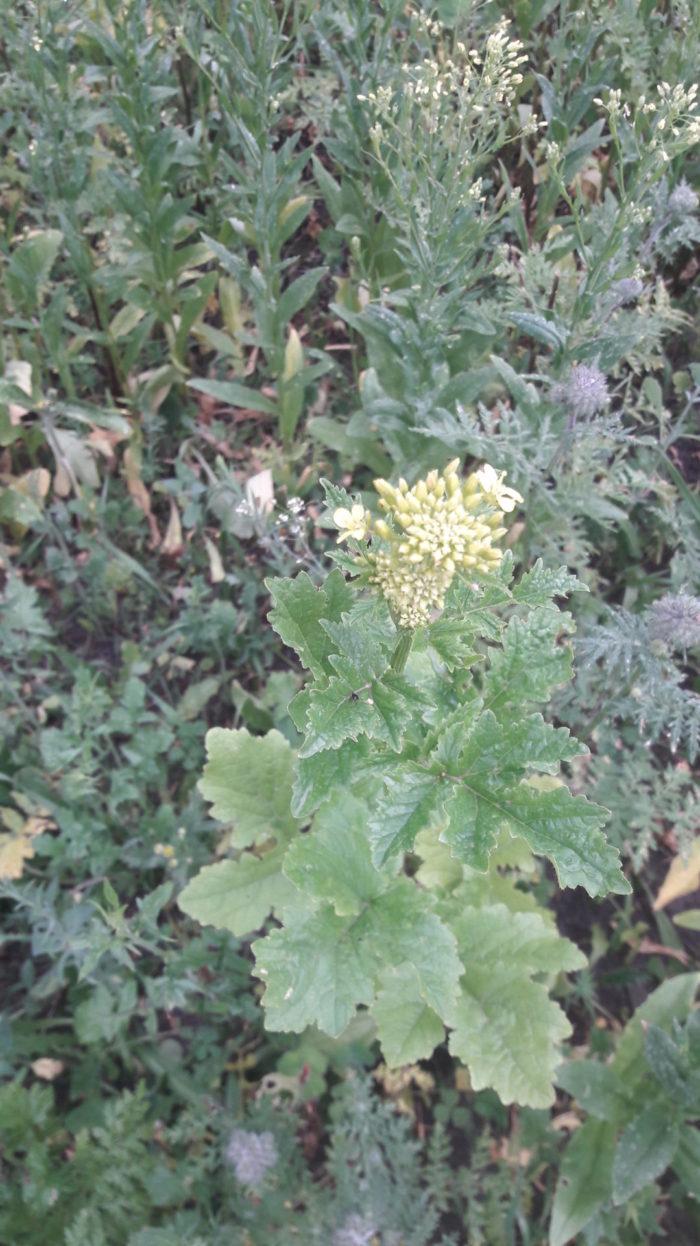 Die erste Blühpflanze: Ackersenf – Yippiehhh!
