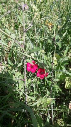 Roter Lein – Ein echter Hingucker