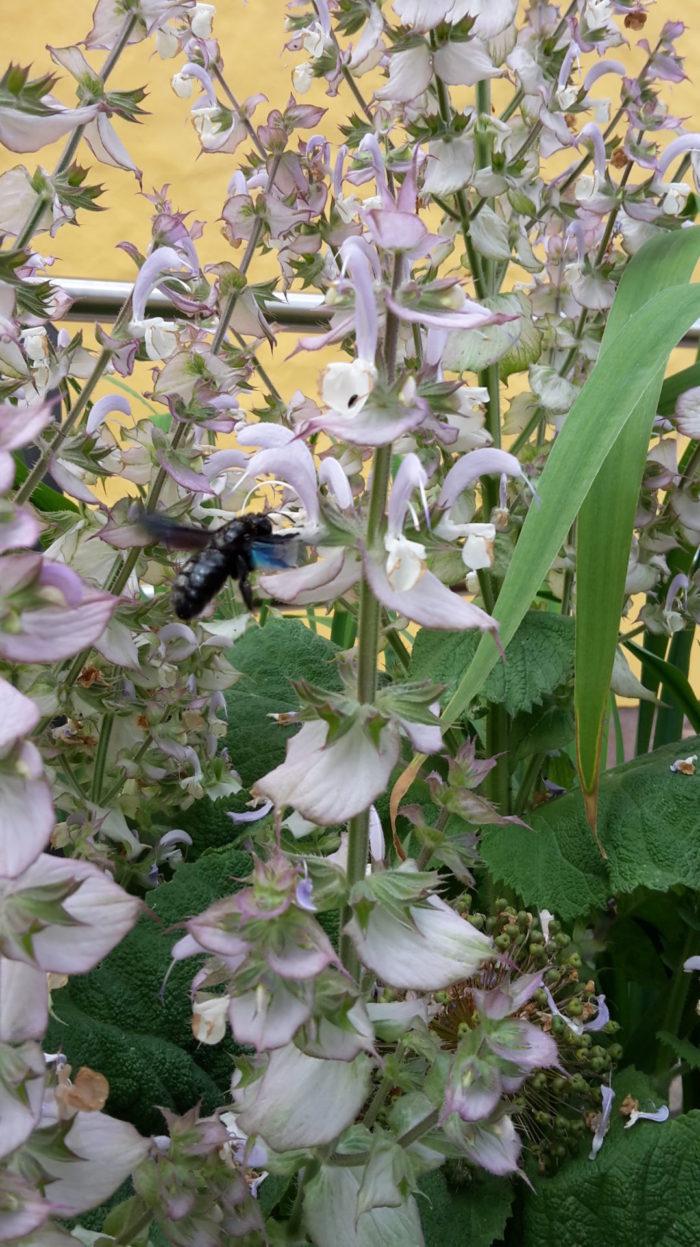 blaue Holzbiene auf Rießensalbei