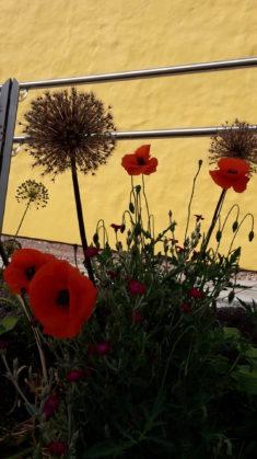 Mohnblumen – ein richtiger Hummelmagnet