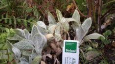 Auch neu gepflanzt für die Wild-/bienen Wollziest.