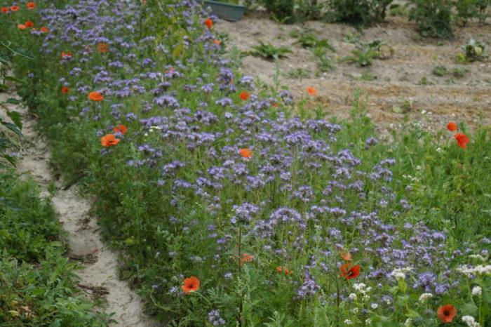 Phazelia – ein Bienenmagnet
