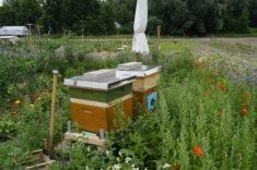 Zwei Bienenvölker haben ein neues Zuhause gefunden