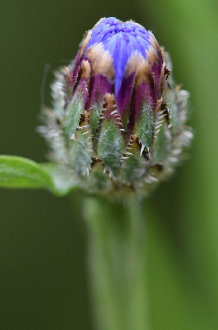 Auch die Kornblumen fangen langsam an zu blühen