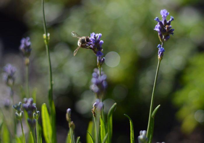 Die Kräuter blühen zum Teil schon sehr schön, und natürlich haben die Bienen das auch schon bemerkt.