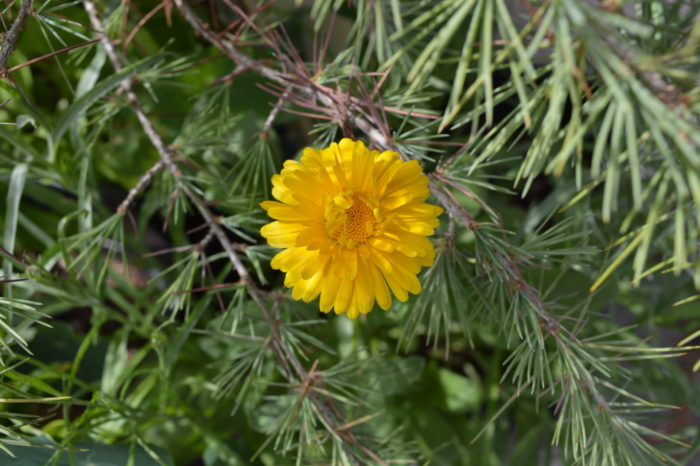 Das ist aus dem Samen geworden: eine Ringelblume!