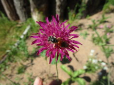 Knautien-Sandbiene auf dem Wiesenblumenbeet