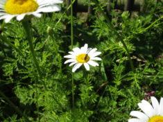 Wildbienchen futtert an der Bertram-Blüte