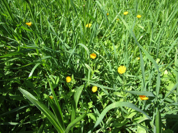 Auch im Feldblumenbeet öffnen sich die ersten Blüten (Wilde Ringelblume).