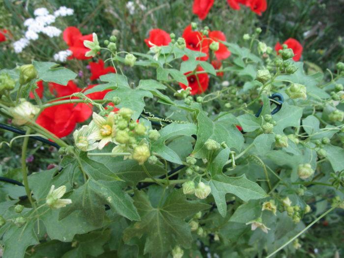Klatschmohn und Zaunrüben in voller Blüte
