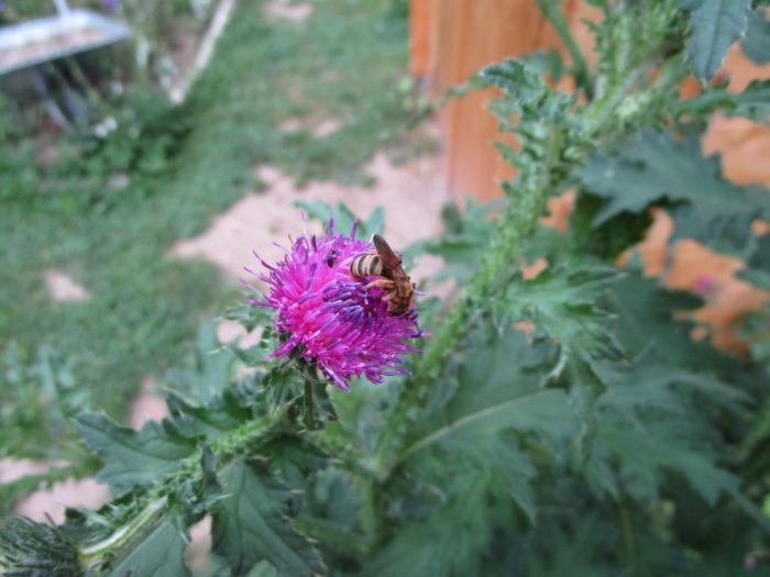 Ein Wildbienchen freut sich über unsere Disteln.