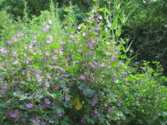 Das Ergebnis (4/4): eine Moschus-Malve in voller Blüte