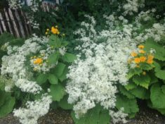 Tipp Juni: Blütenschaum