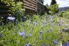 """Mitte Juni haben sich unsere """"Bienenbeete"""" in eine blühende Landschaft verwandelt…"""