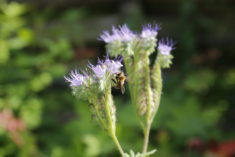 Die Bienenweide macht ihrem Namen alle Ehre !