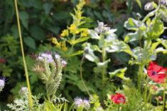 …nicht nur eine Bienenweide sondern auch eine Augenweide !
