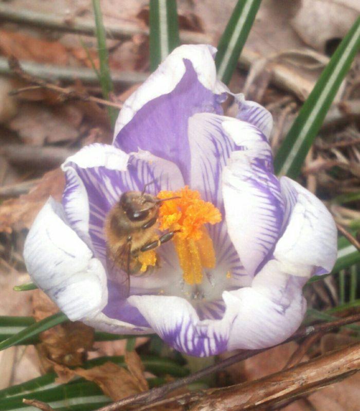 Unsere erste geschlüpfte Mauerbiene bei uns im Garten. Wir haben im Oktober Mauerbienen Kokons g ...
