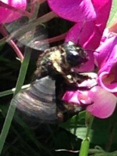 Holzbiene: Markoaufnahme bei einem Kolibri ? – nicht so einfach
