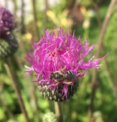 Wildbiene auf Distel