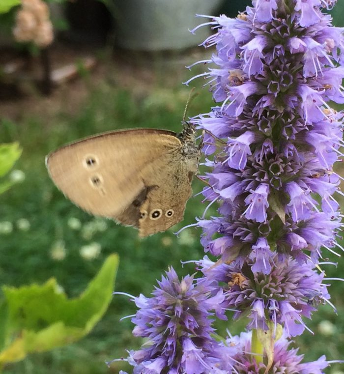 Schmetterling auf Duftnessel