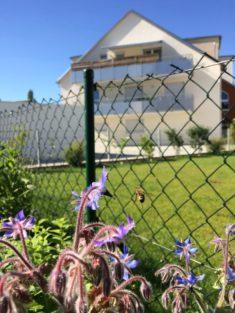 Biene im Anflug auf Borretsch, dahinter öder Rollrasen der Nachbarn ohne Leben