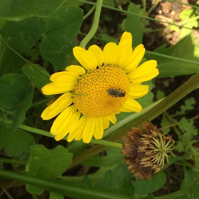 Wildbiene auf Färberkamille