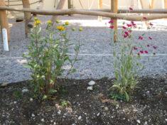 Heimatnahe Pflanzen vom Stauden Spatz