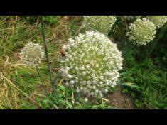 Insektenmagnet 1 Lauchpflanzen 🐝🐛🐜 – Was sind Insektenmagnete?