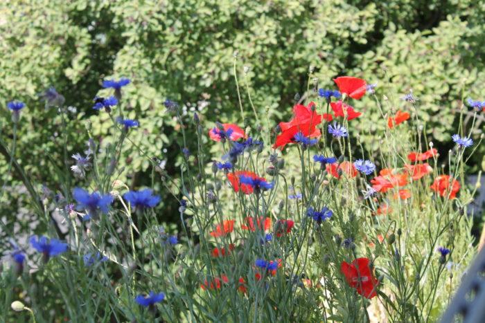 Ende Juni, Anfang Juli: Die ersten Blühpflanzen