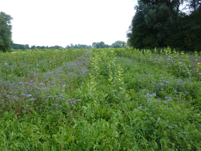 Phacelia Bienenweide und Streuobstwiese