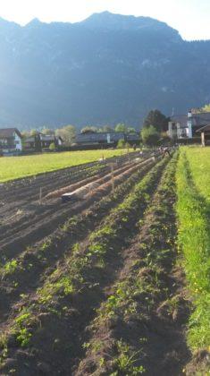 Bauer Auer holte seine Fräse heraus und legte Bifänge an. Aber noch ist Ruhe auf dem zukünftigen ...