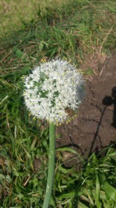 Zwiebeln dürfen auch mal ausblühen, zur Freude der Bienen