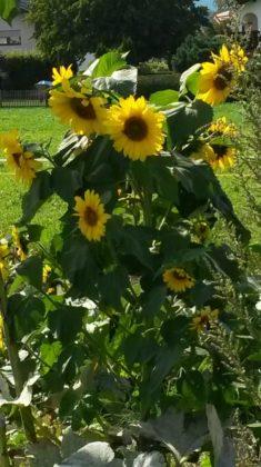 Die Sonnenblumen kamen von selbst, Saat die vom letzten Jahr im Boden wieder aufging